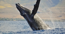 Hawaii Things to Do, Whale Watch Excursion